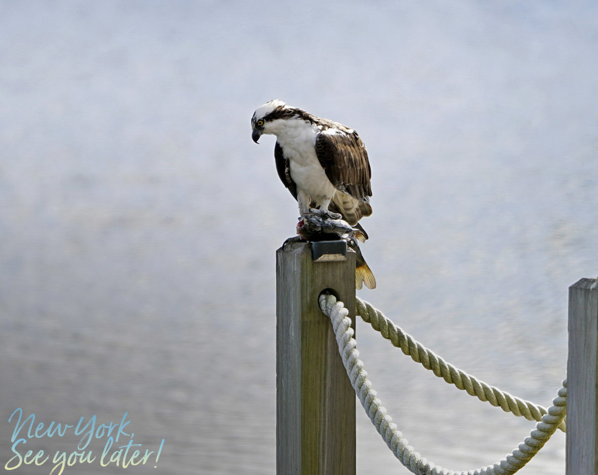 Osprey in the backyard with a fish