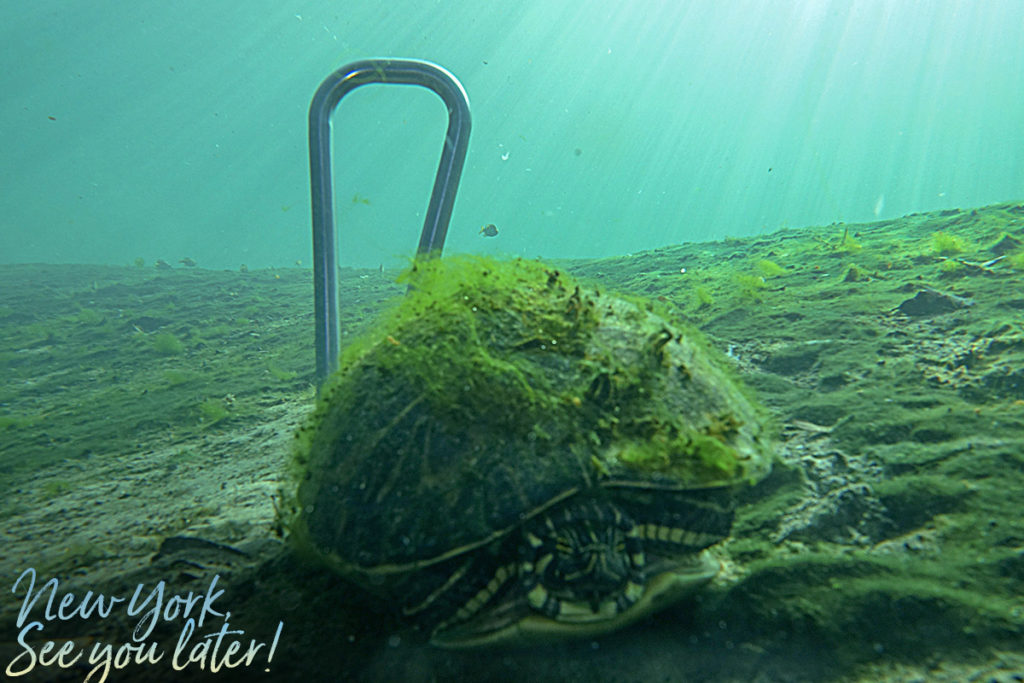 A turtle posing with the Subway Handle in De Leon Springs