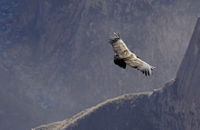 Colca Canyon, Peru, Condors and Eagles