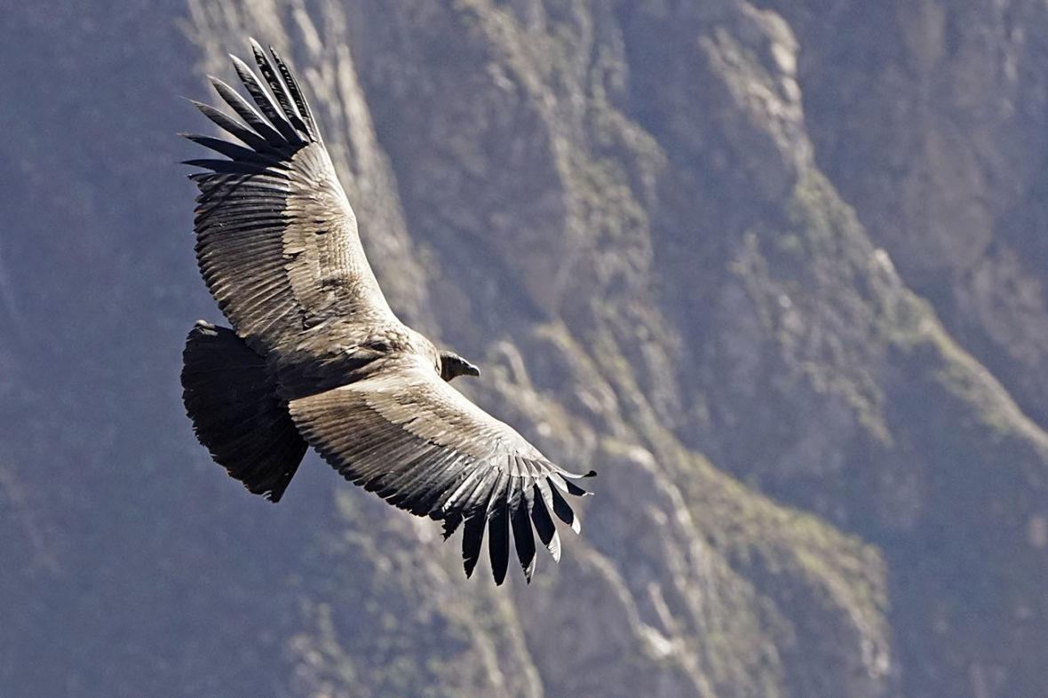 Colca Canyon, Peru, Condors and Eagles