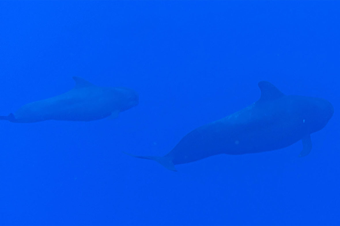 Dolphin and Pilot Whale Snorkel through Sunlight on Water at Noio Point, The Big Island, Hawaii