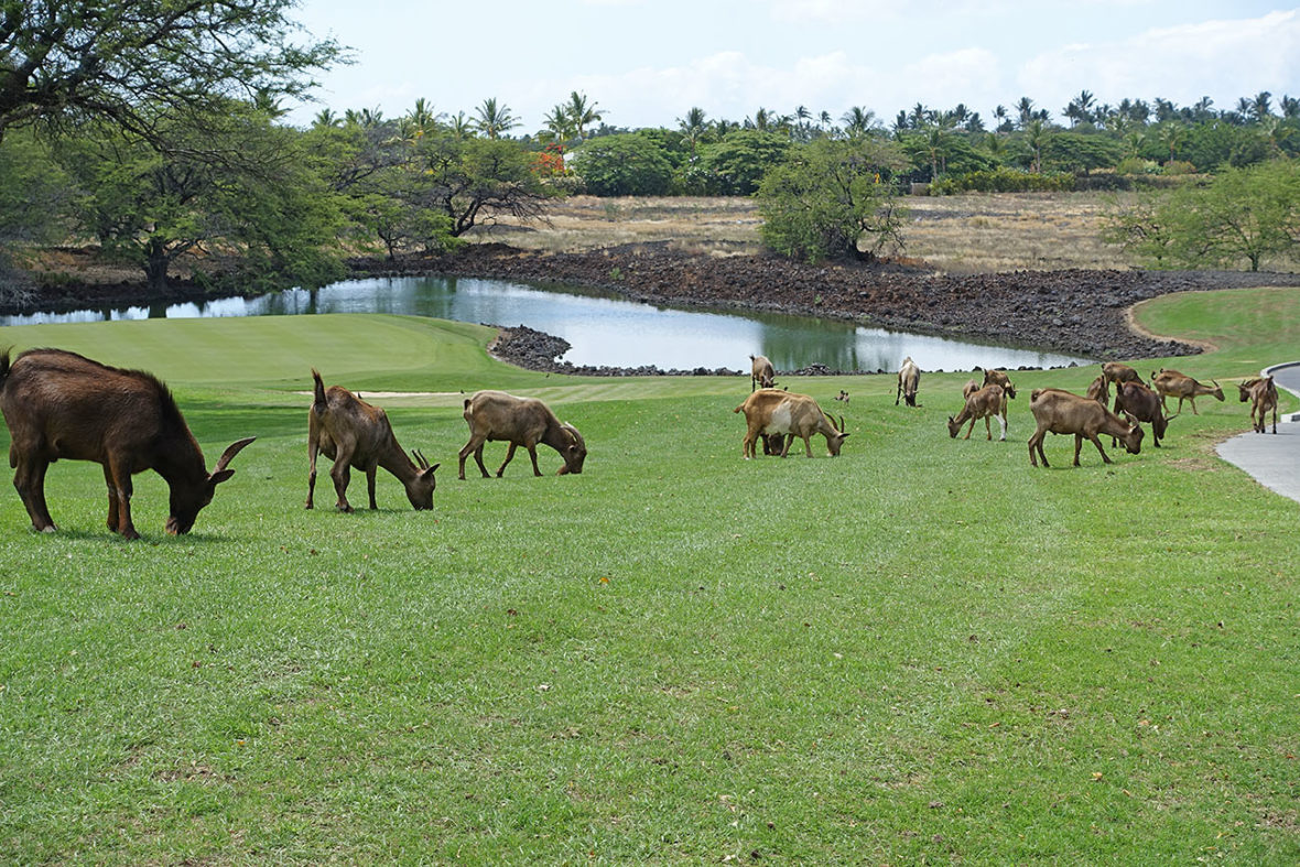 Goats on a golf course on The Big Island of Hawaii