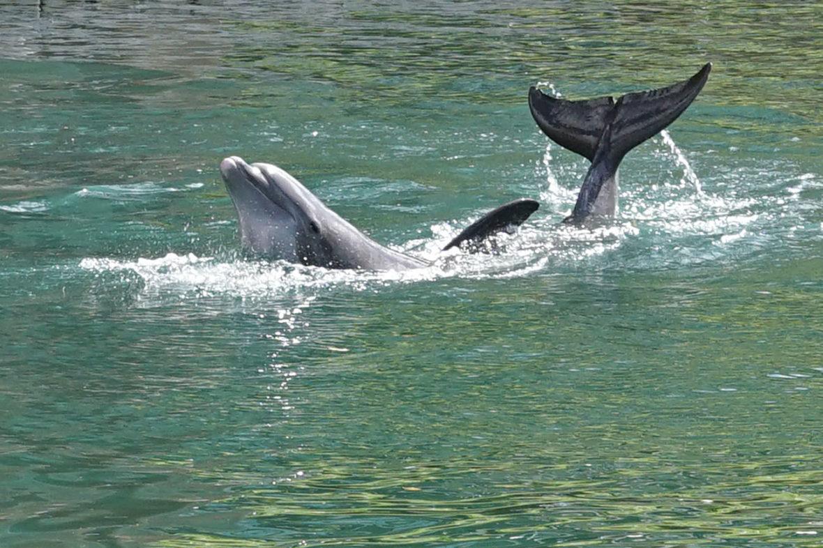 A dolphin at the Hilton in Honokaa on The Big Island of Hawaii