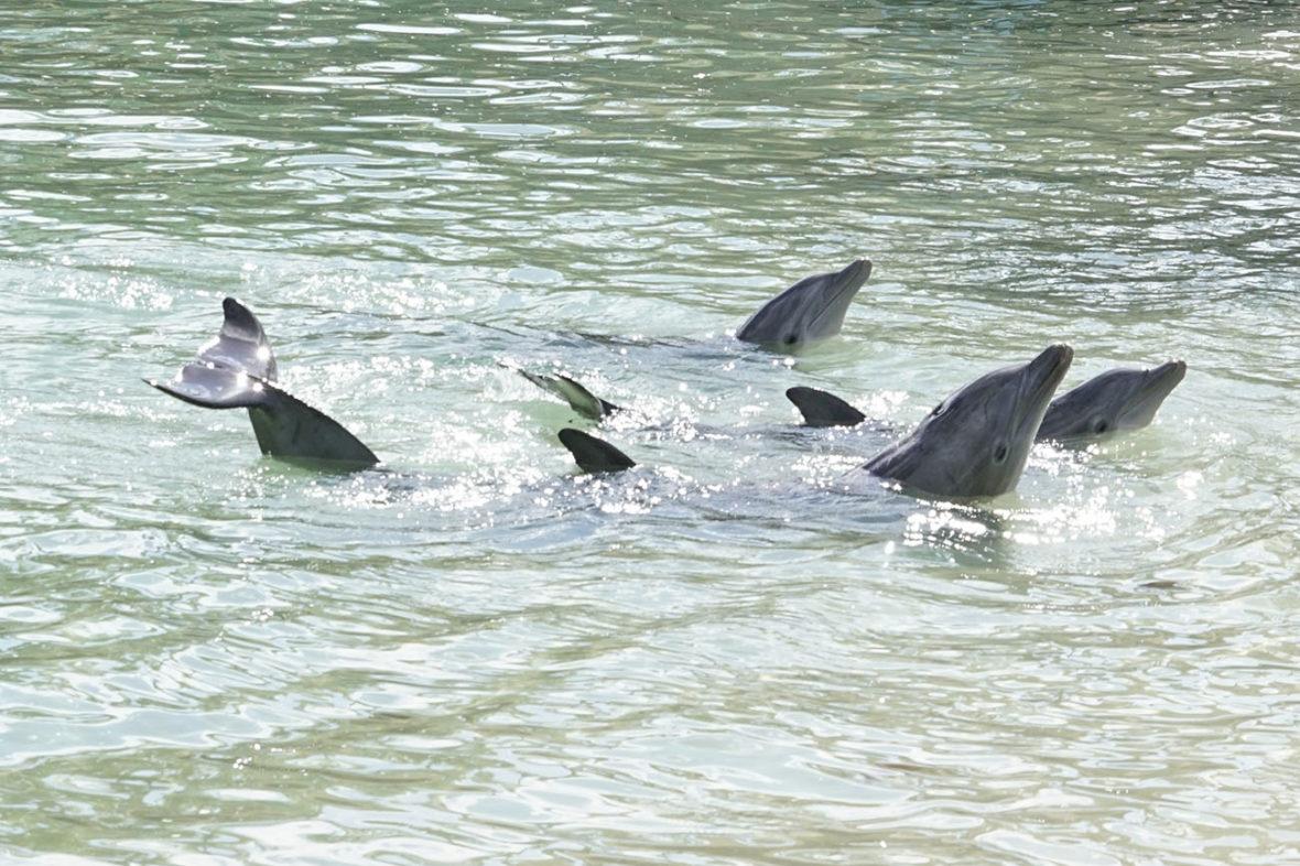 Dolphins at the Hilton in Honokaa on The Big Island of Hawaii