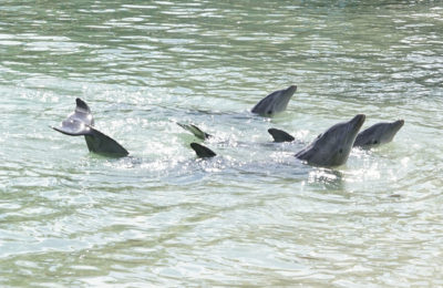 Dolphins at the Hilton in Honokaa on The Big Island of Hawaii