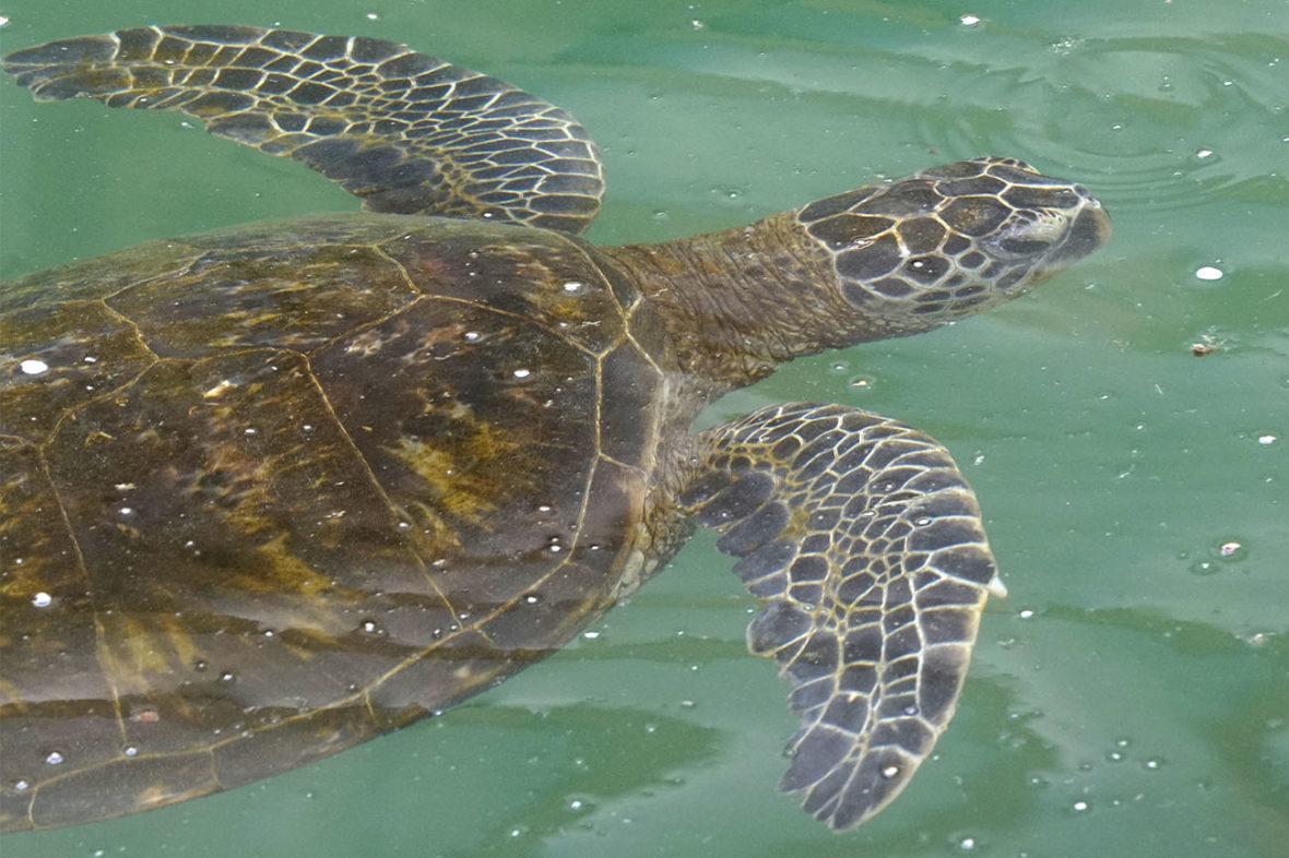 A turtle at the Hilton in Honokaa on The Big Island of Hawaii