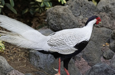 A Silver Grouse at the Hilton in Honokaa on The Big Island of Hawaii