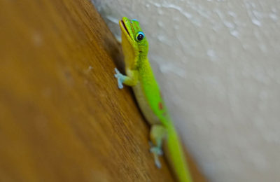 Gecko at Aunt Fritzis Honokaa Hawaii