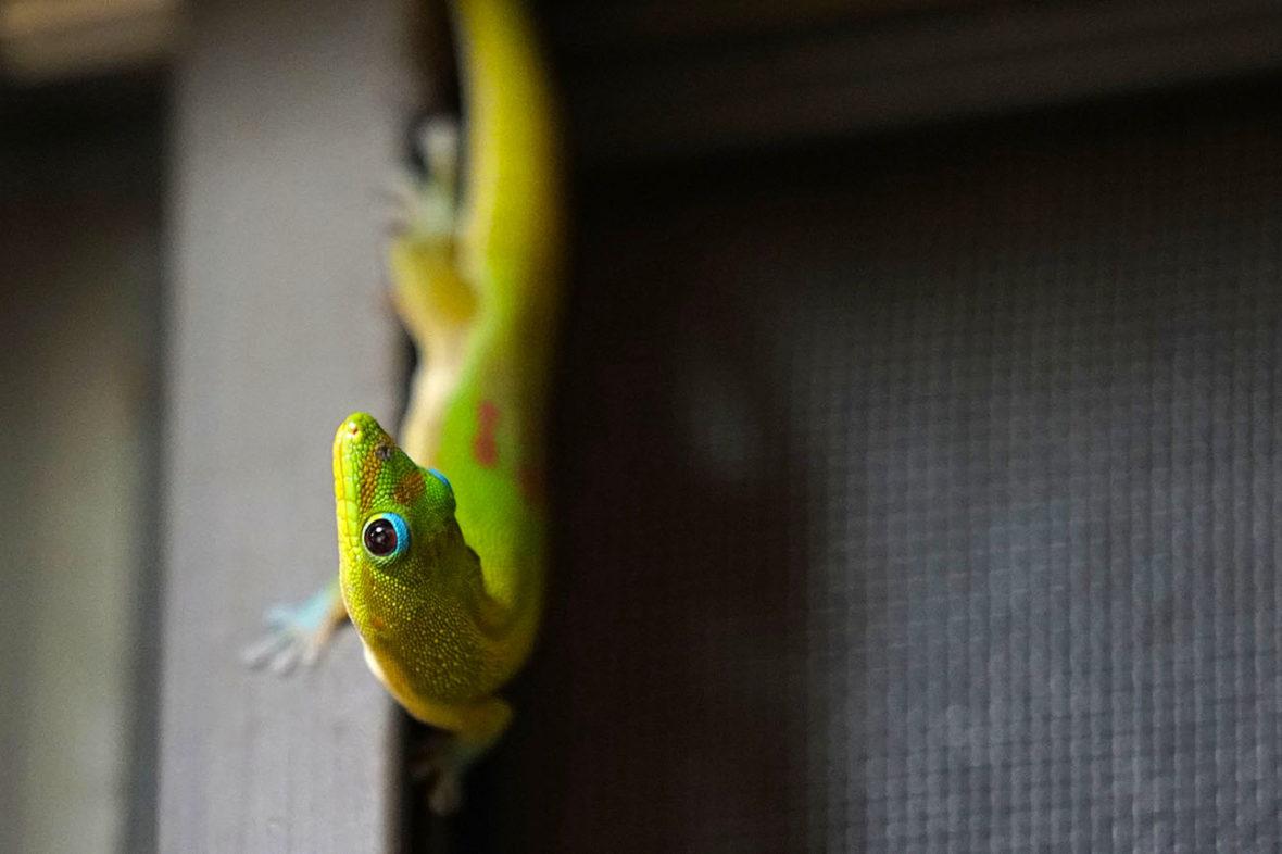Gecko at Aunt Fritzis Honokaa Hawaii