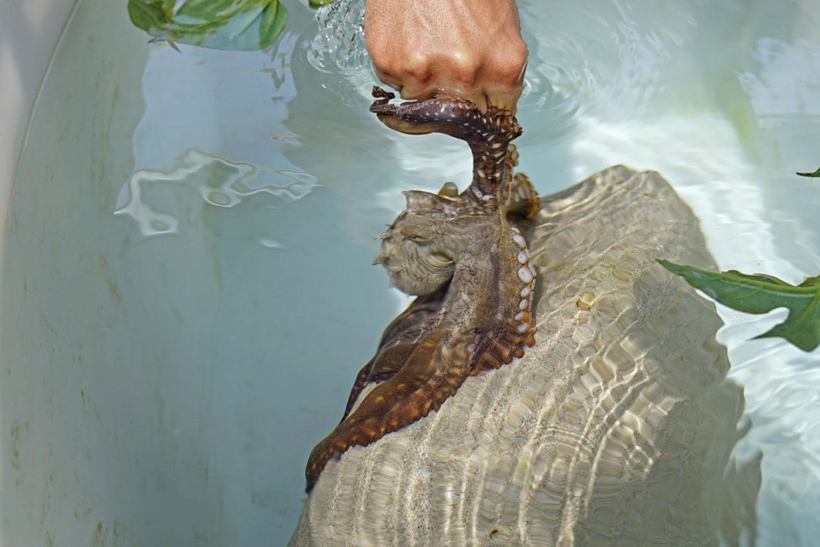 Kanaloa Octopus Farm in Kona on The Big Island of Hawaii