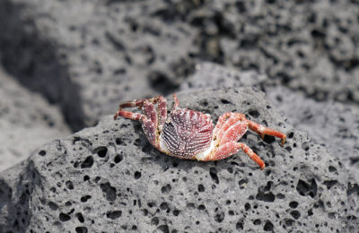 Crabs on lava rock at Kona, on The Big Island of Hawaii