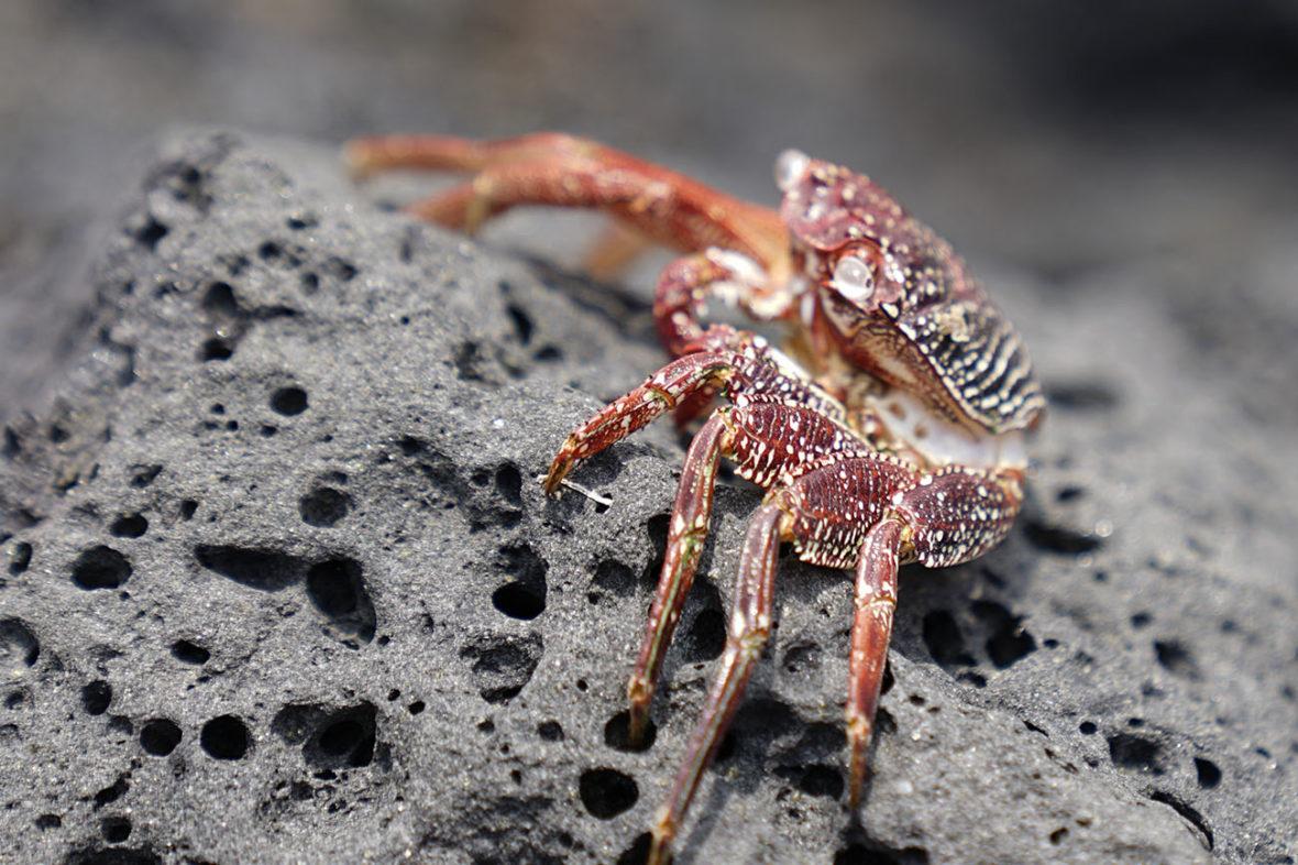 Crabs on lava rock at Kona, on The Big Island of Hawaii